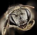 Lipotriches , f, australia, face 2014-11-02-01.57.03 ZS PMax (15162570583).jpg