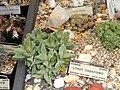 Lithops turbiniformis - University of California Botanical Garden - DSC08859.JPG