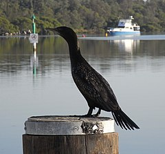 Little Black Cormorant Perching.JPG