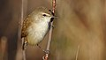 Little rush warbler, Bradypterus baboecala, at Marievale Nature Reserve, Gauteng, South Africa (40842144550).jpg