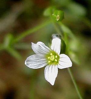 Linum catharticum - Image: Liunum catharticum 1