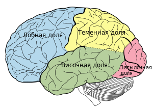 Lobes of the brain rus.svg