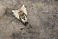 Locharna strigipennis (40937270851).jpg