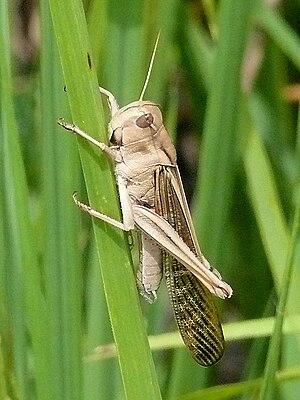 Migratory locust - L. m. migratorioides male (solitary)