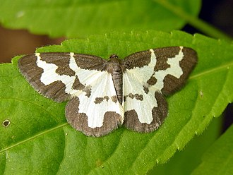 Clouded border - Dorsal view