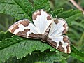 Lomaspilis marginata (Geometridae) (Clouded Border) - (imago), Arnhem, the Netherlands.jpg