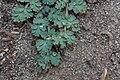 Lomatium martindalei 8523.JPG
