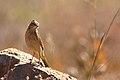 Long-billed pipit, Anthus similis, at Devon Grasslands, Gauteng, (48233193416).jpg