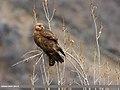 Long-legged Buzzard (Buteo rufinus) (33161745304).jpg