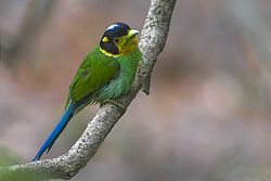 Long-tailed Broadbill Naina Devi Himalayan Bird Conservation Reserve Uttarakhand India 27.05.2016.jpg