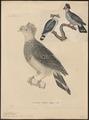 Lopholaimus antarcticus - 1700-1880 - Print - Iconographia Zoologica - Special Collections University of Amsterdam - UBA01 IZ15600145.tif