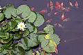 Lotus fish.jpg