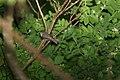 Louisiana Waterthrush (Parkesia motacilla) (3567578521).jpg