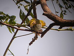 Lowland White-eye 1.jpg