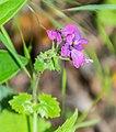Lunaria annua in Aveyron (3).jpg