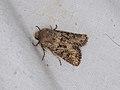 Luperina testacea (36187156693).jpg