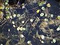 Luronium natans Elisma wodna 2015-08-30 01.jpg