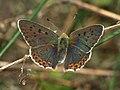 Lycaena tityrus - Sooty copper - Червонец бурый (40120775495).jpg