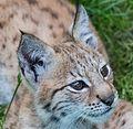 Lynx baby-2 (14955558838).jpg