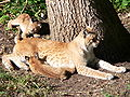 Lynxes at Skansen.jpg