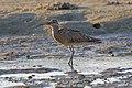 Maçarico-galego (Numenius phaeopus) (51399013462).jpg