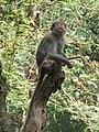 Macaca radiata - Bonnet macaque at Wayanad (1).jpg