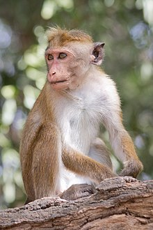 Wild toque macaque (Macaca sinica) in Yala National Park, Sri Lanka