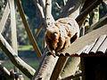 Macaco-prego-galego 3.jpg