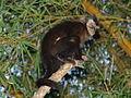 Macaco prego Manduri 060811 REFON 10.JPG