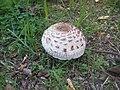 Macrolepiota-excoriata-IMG 4537.jpg