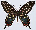 Madagascar Giant Swallowtail (Pharmacophagus antenor) (8420525590).jpg