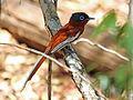 Madagascar Paradise Flycatcher RWD6.jpg