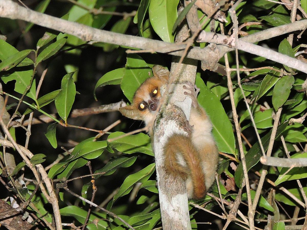madame berthes mouse lemur wikipedia