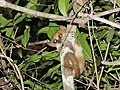 Madame Berthe's Mouse Lemur.jpg