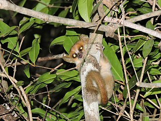 Madame Berthes mouse lemur species of mammal