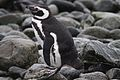 Magellanic Penguin resting on the shore (4312436333).jpg