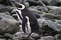 Magellanic Penguin resting on the shore (4312436333).jpg