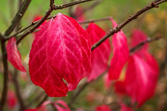 Magenta leaves on a Common Spindle bush in Tuntorp 1.jpg