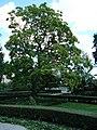 Magnolia BBG.JPG
