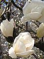 Magnolia denudata (1).jpg