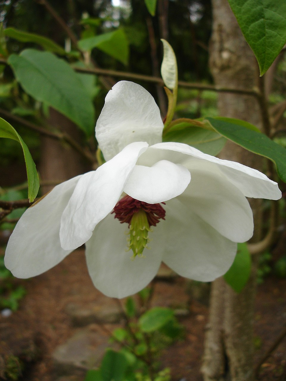 Magnolia wilsonii1UME