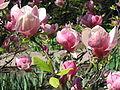 Magnolia x soulangeana Lennei 02.jpg