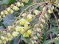 Mahonia bealei1.jpg