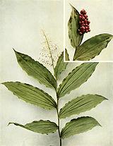 Maianthemum racemosum WFNY-018.jpg