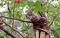 Maine Coon Kitten(2799X1772).jpg