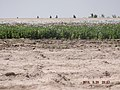 Maiwand, Afghanistan - panoramio (5).jpg