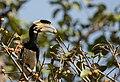 Malabar Pied Hornbill - female-2.jpg