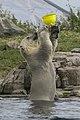 Male? child Polar bear playing (5-5) (20334776779).jpg