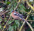 Male Chaffinch. Fringilla coelebs. - Flickr - gailhampshire.jpg