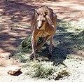 Male Eastern Grey Kangaroo (Macropus giganteus).jpg
